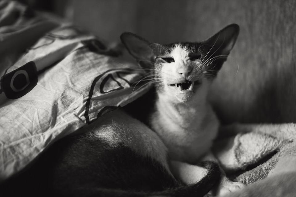 Schwarzweißfoto einer Katze mit offenem Mund.