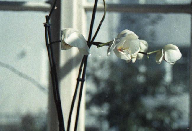Weiße Blüten vor einem Fenster.