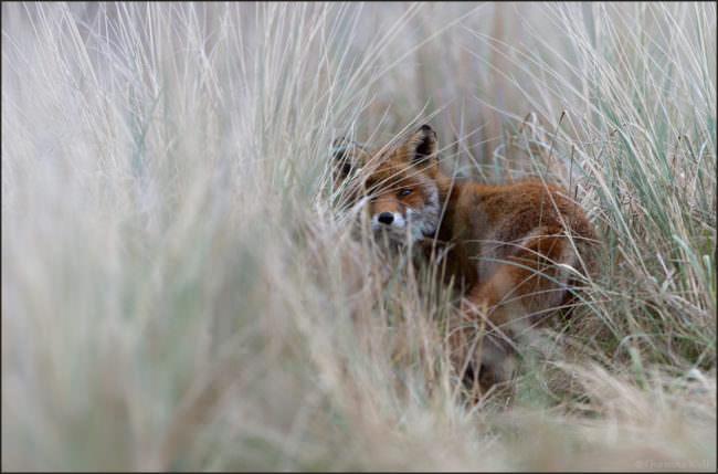 Ein fuchs versteckt sich im hohen Gras.