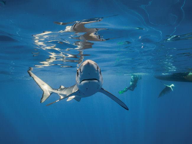 Ein Hai schwimmt auf die Kamera zu.