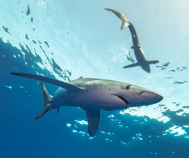 Zwei Haie tauchen unter der hellen Meeresoberfläche.