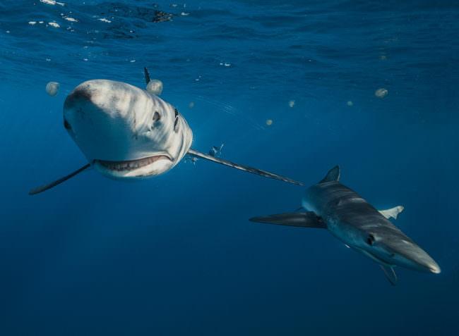 Zwei Haie tauchen auf die Kamera zu.