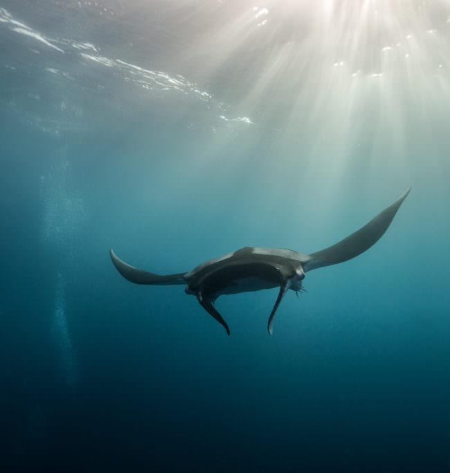 Ein Mantarochen schwimmt im Wasser.
