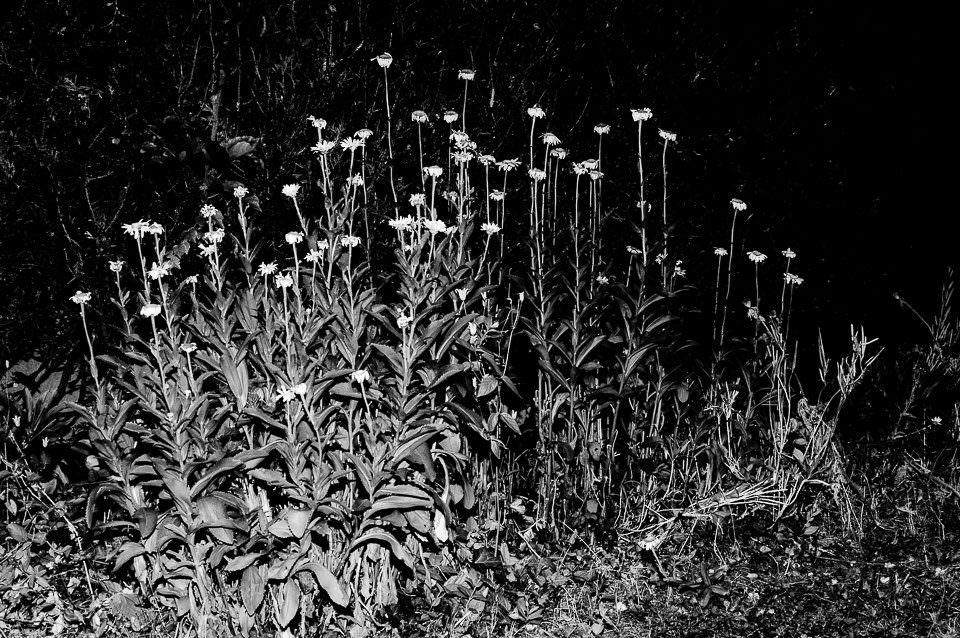 Blumen in schwarzweiß.