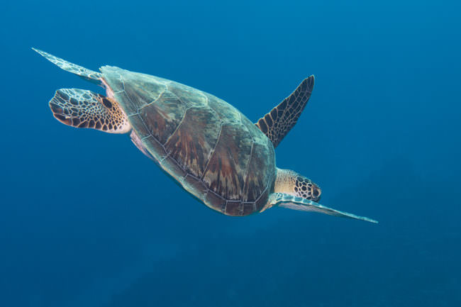 Eine große Schildkröße taucht im Meer.