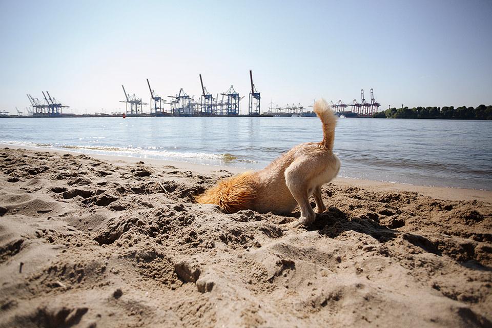 Ein Hund mit einer Löwenmähne buddelt ein Loch am Elbstrand