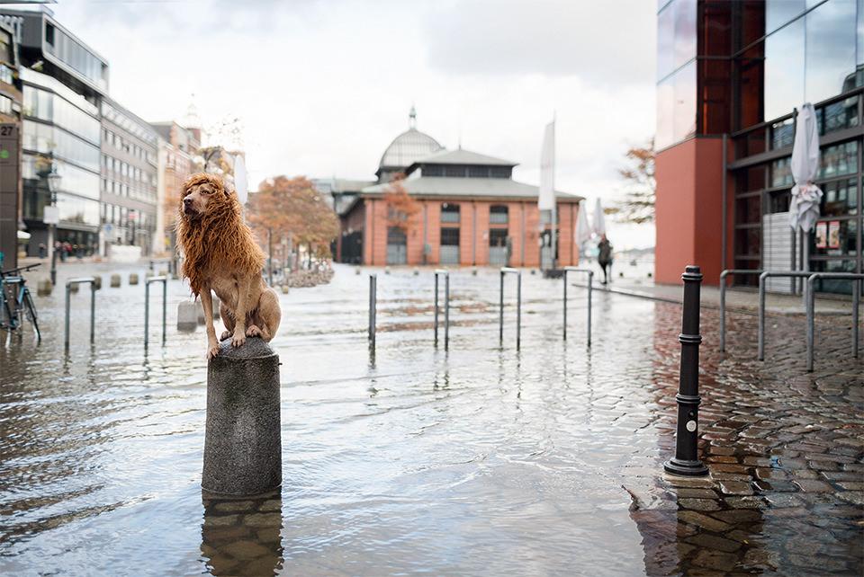 Ein Hund mit einer Löwenmähne sitzt im Regen auf einem Pfosten