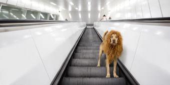 Ein Hund mit einer Löwenmähne steht auf einer Rolltreppe