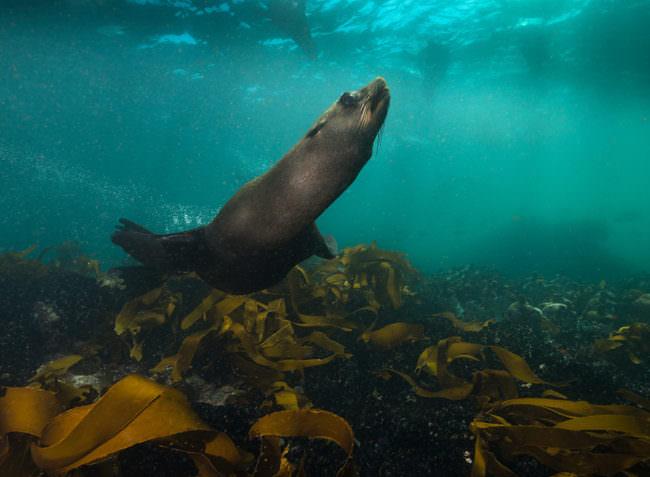 Eine Robbe schwimmt über einen Meeresgrund mit Wasserpflanzen.
