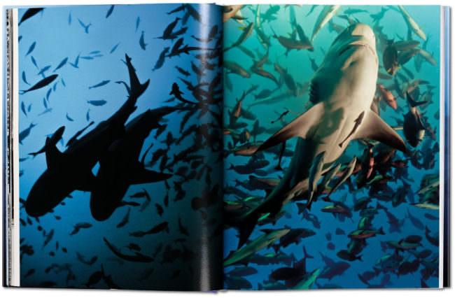 Aufnahme dreier Bullenhaie inmitten eines Fischschwarms
