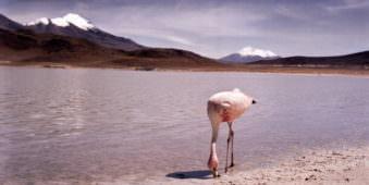 Ein Flamingo in der Wüste an einem See.