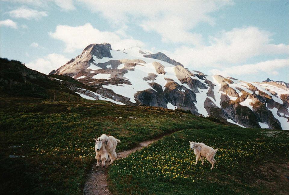 Zwei Ziegen auf einem Bergweg