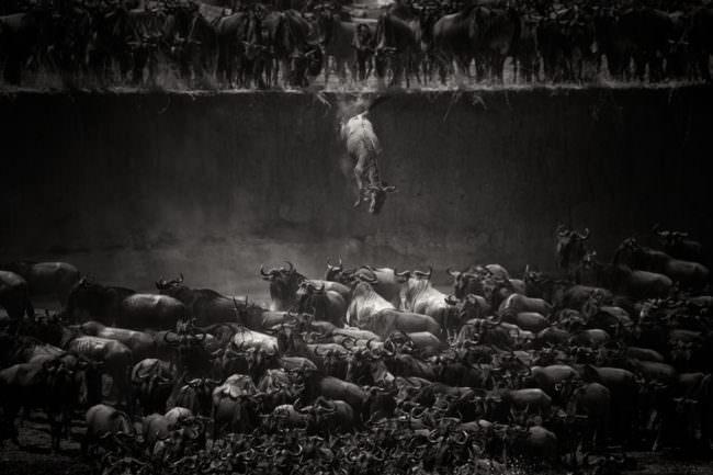 Eine Herde Gnus springt in einen Graben