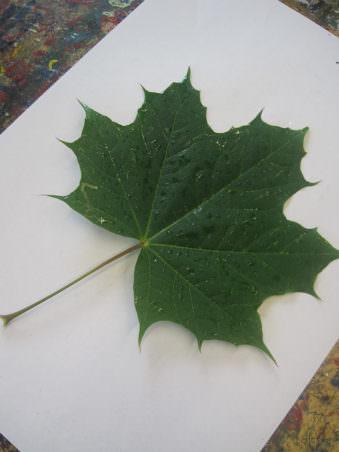 Ahornblatt mit Wassertropfen auf A4 Papier in weiß.