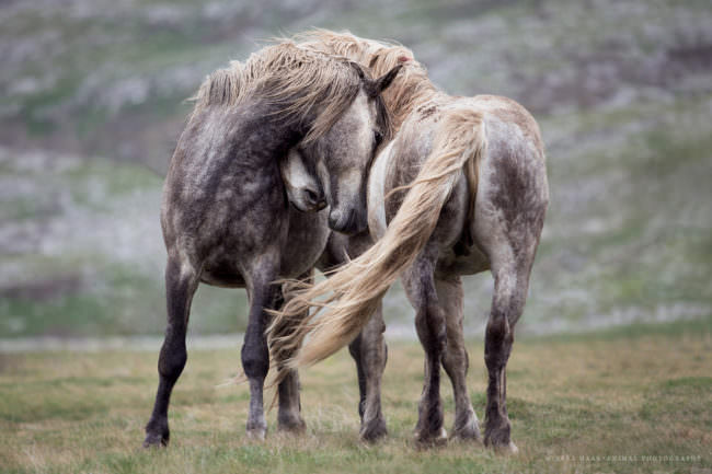 zwei Pferde scheinen sich zu umarmen