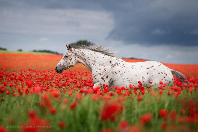 Ein Pferd rennt durch ein Mohnfeld