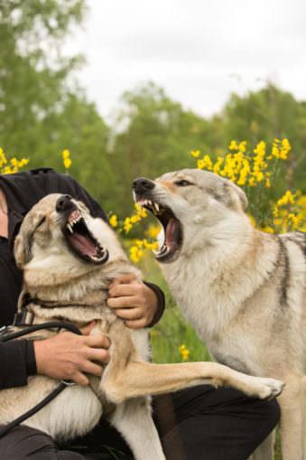 Zwei Hunde streiten