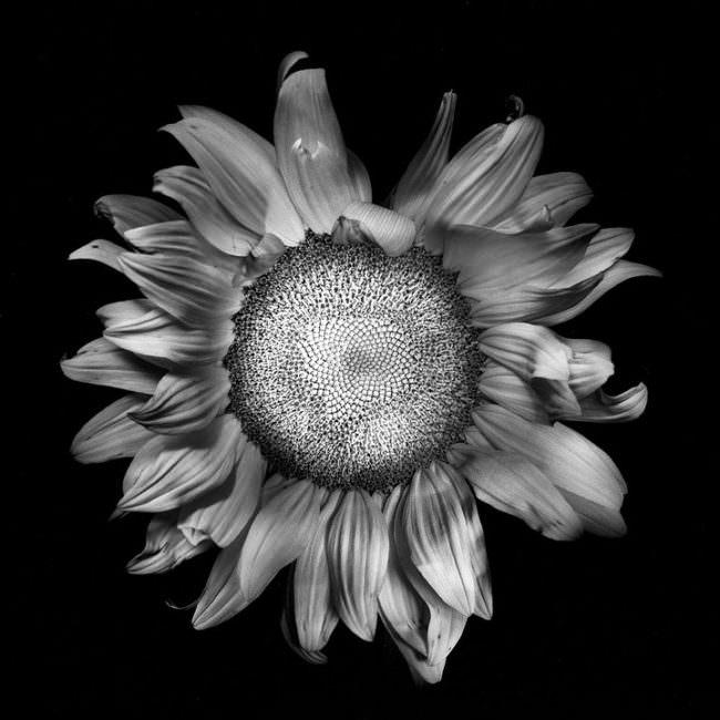 Blütenkopf einer Sonnenblume in schwarzweiß von oben fotografiert.
