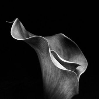 Blütenkörper einer Lilie von der Seite gezeigt in schwarzweiß.