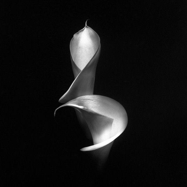 Zwei Blütenkörper einer Lilie von der Seite gezeigt in schwarzweiß.