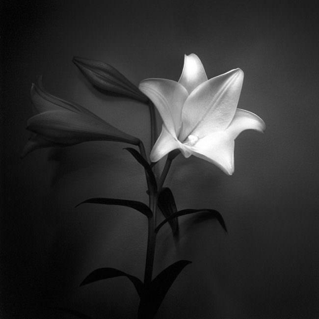 Blume mit Stengel in schwarzweiß gezeigt mit geöffneter Blütendolde.