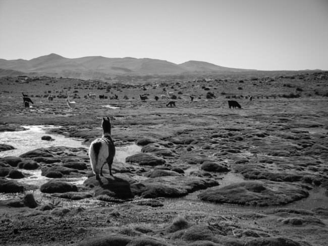 Lama in der Landschaft