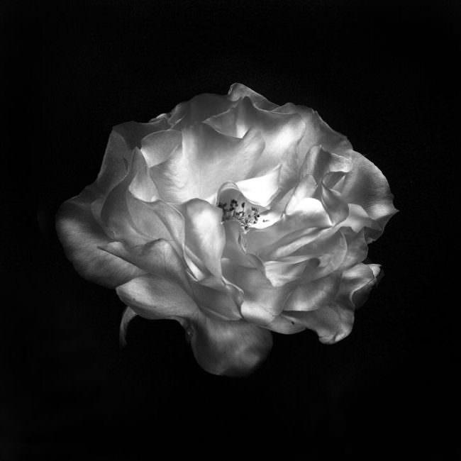 Abbildung eines Blütenkopfes einer Rose von schräg oben in schwarz weiß.