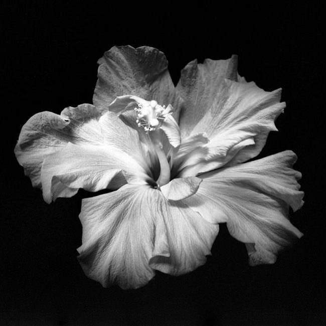 Abbildung eines Blütenkopfes einer Blüte von schräg oben in schwarz weiß.