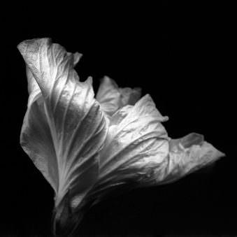 Abbildung eines halb geschlossenen Blütenkopfes einer Blüte von schräg oben in schwarz weiß.
