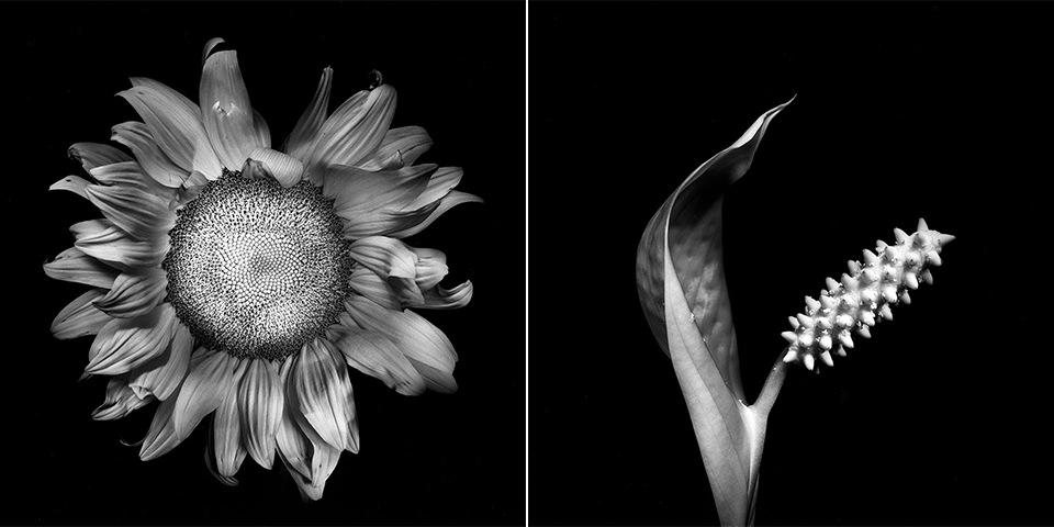Aufsicht einer Sonnenblumenblüte und schwarzweiß neben einer Blüte mit Pollenspänder im Detail.