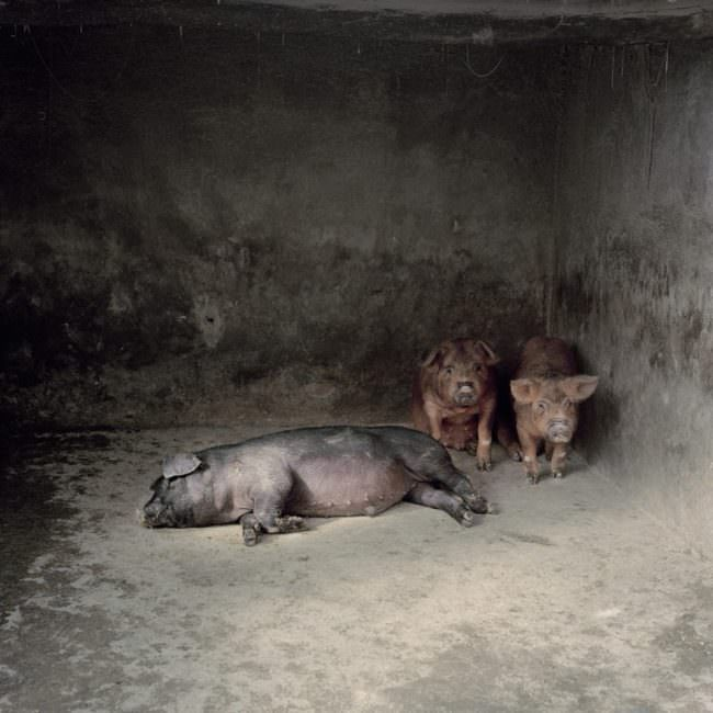 Drei Schweine