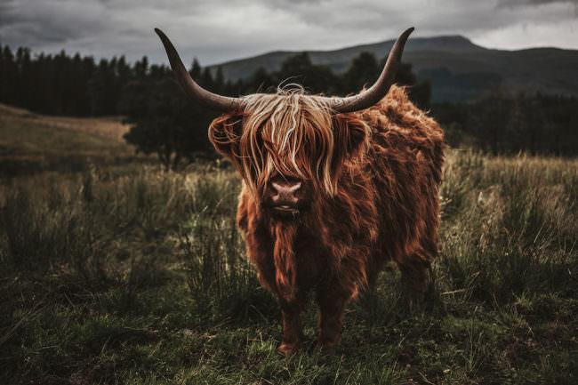Büffel steht auf einer Wiese und sieht direkt in die Kamera.
