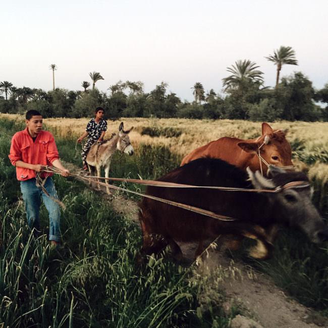Ein Mann hält mitten auf einem Weg zwei Kühe an einem alten Gespann. Im Hintergrund sitzt ein Mann auf einem Esel.