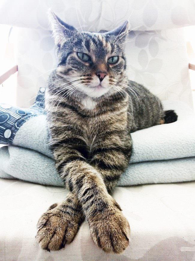 Portrait einer Katze mit überkreuzten Vorderpfoten