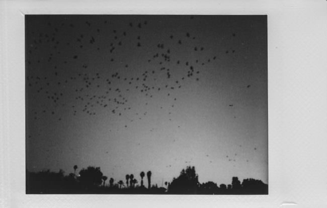 Vögelschwärme über Bäumen