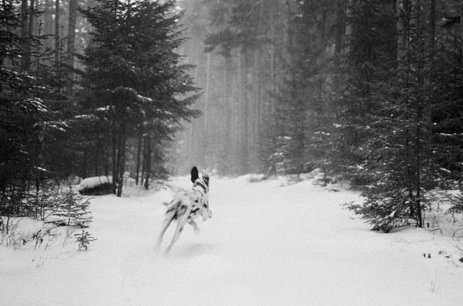 Ein tollender Hund im schneebedeckten Wald