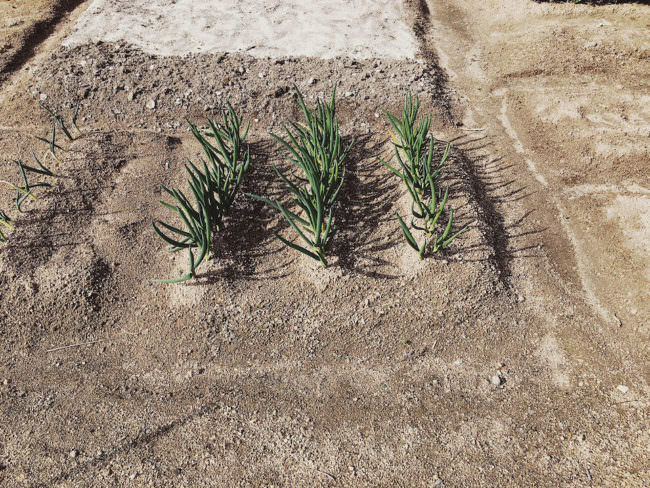 Kleine grüne Pflanzen die auf einem kargen braunen Feld wachsen.