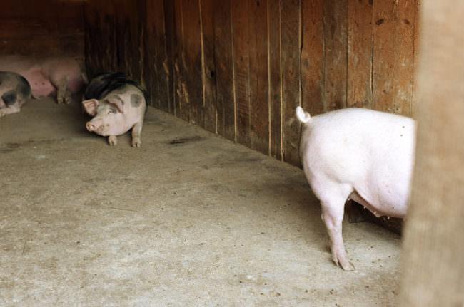 Ein Stahl mit freilaufenden Schweinen darin.