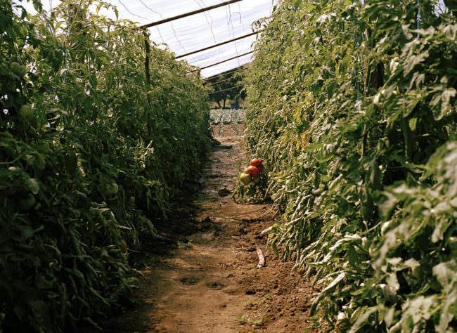 Blick ein ein Gewächshausgang, links und rechts stehen Tomatenpflanzen.