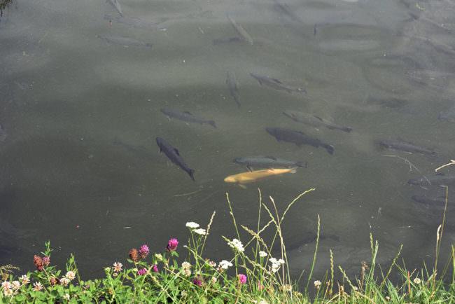 Aufsicht auf einen Teich in dem Fische schwimmen, am Rand ein Stück Wiese.
