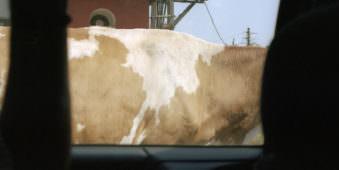Ausschnitt einer braun weißen Kuh.