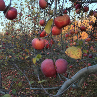 Nahaufnahme eines Astes, der schwer mit Obst behangen ist.