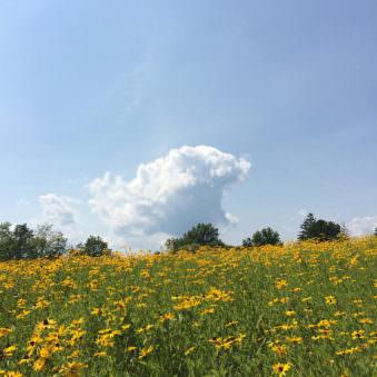 Landschaft mit Blumenfeld, blauem Himmel und einer Wolke darin.