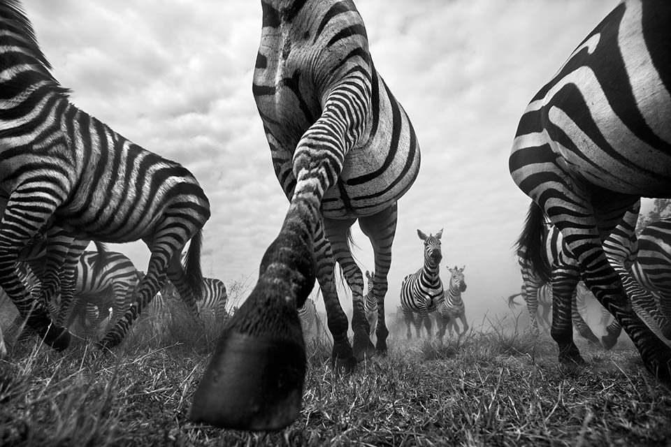 Rennende Zebras