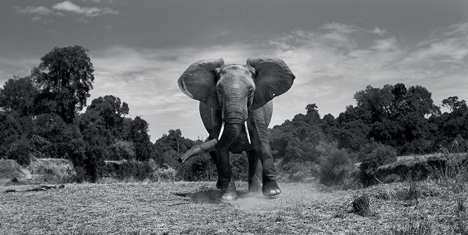 Ein rennender Elefant