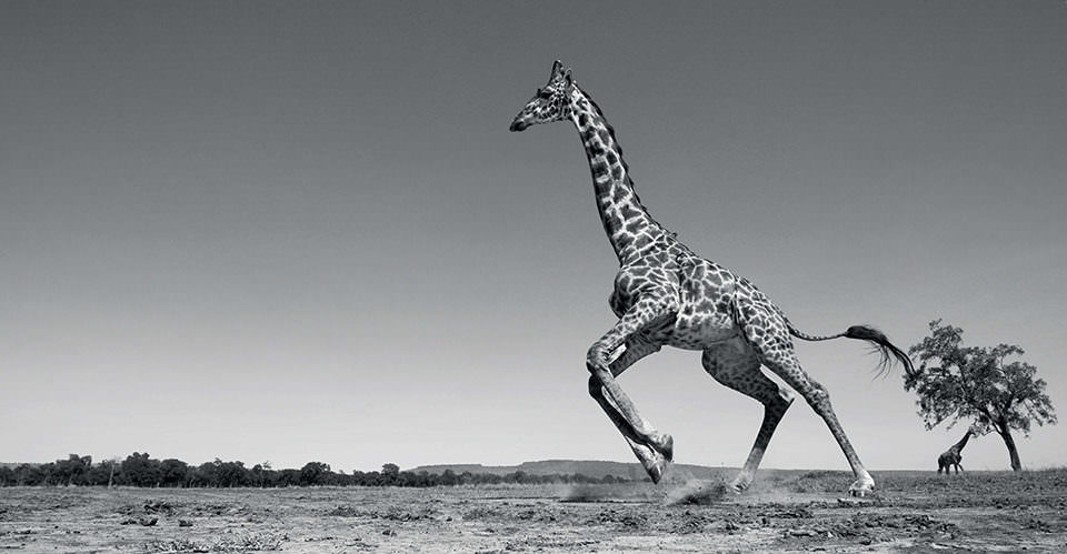 Eine rennende Giraffe