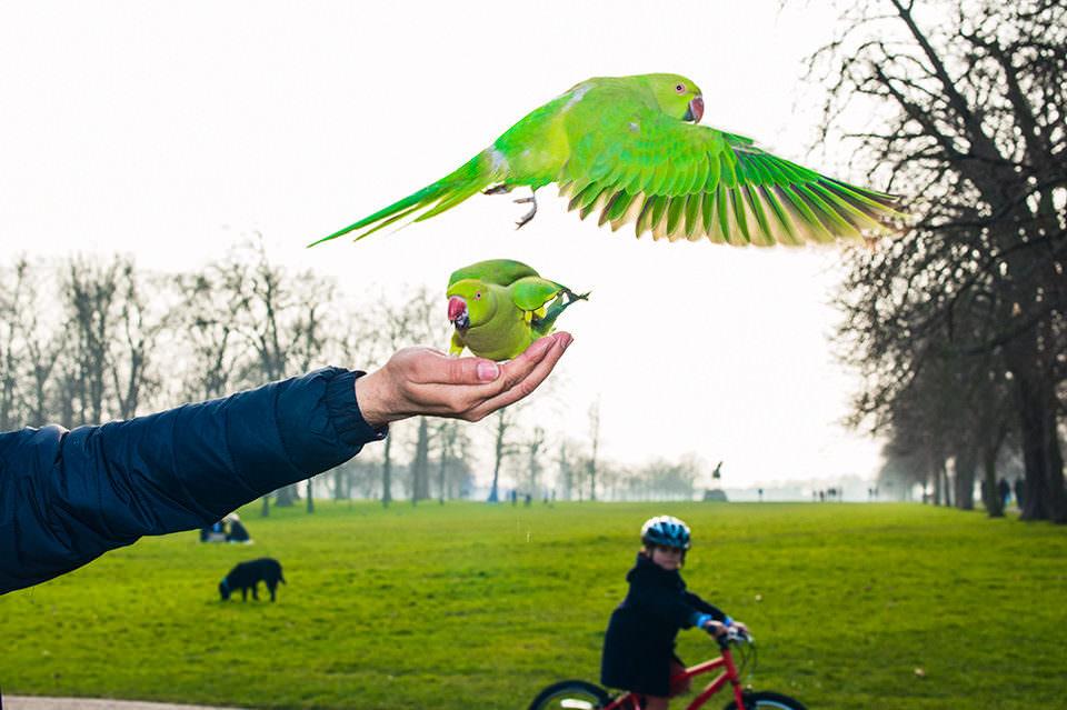 Zahme Papageien fliegen von der Hand