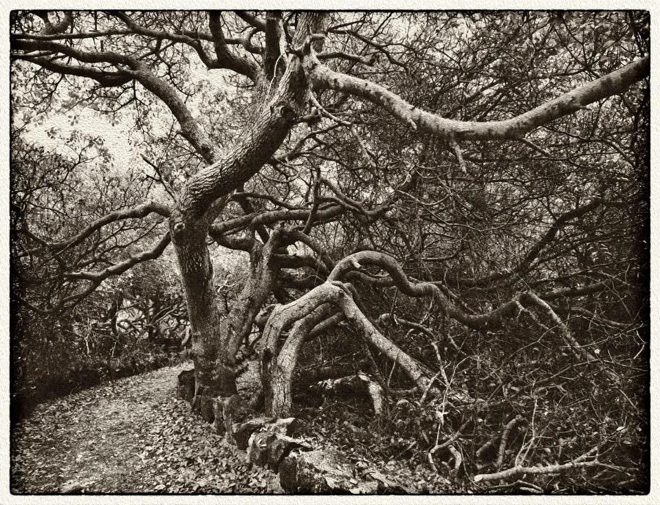 Gekrümmte Bäume an einem Weg