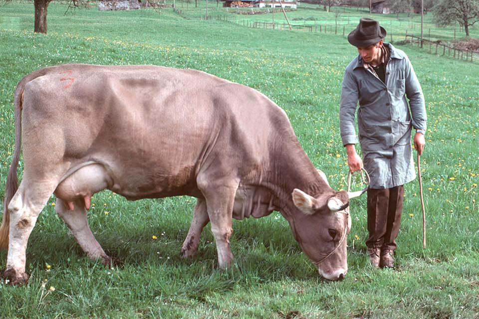 Ein Mann mit Kuh