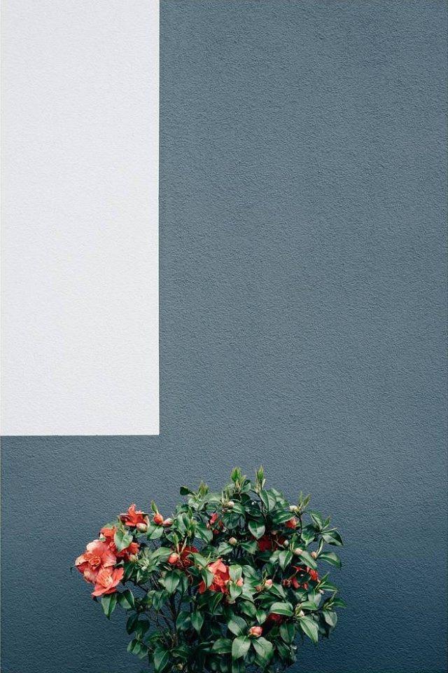 Rot blühender Busch vor einer grauen Wand mit hellgrauem Rechteck.